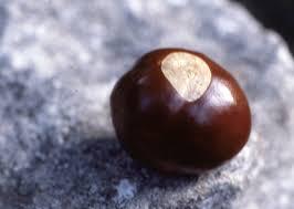 image of buckeye nut